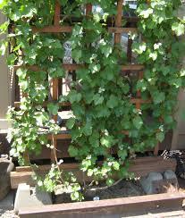 grape arbor plans grapevines grapevine arbor pinterest