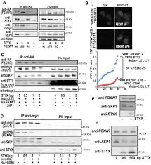 the pseudophosphatase styx targets the f u2010box of fbxw7 and inhibits