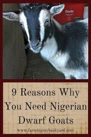 9 reasons why you need nigerian dwarf goats farming my backyard