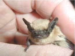 small bat insectivorous bats saguaro national park u s national park