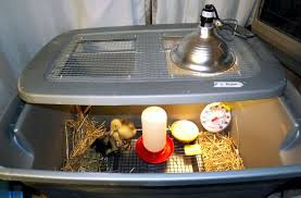 What To Feed Backyard Chickens by Duckling Care And The Ancona Breed Backyard Chickens