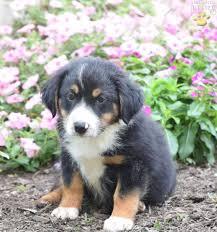 australian shepherd yahoo answers trevor australian shepherd puppy for sale in fresno oh