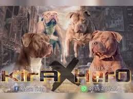 american pit bull terrier zucht american pit bull terrier im tiermarkt von deinetierwelt