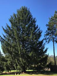 state college tree headed to rockefeller center for christmas wjac