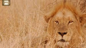 male lion wallpapers rhino africa downloads wildlife wallpaper rhino africa