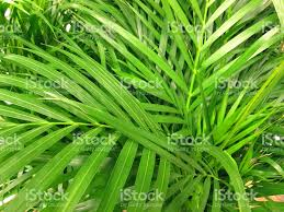 potted green areca palm leaves fronds chrysalidocarpus lutescens