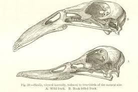 image result for charles darwin original draws mastermorphosis