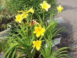 Day Lillies Perennials U2013 Contemporary Garden Supply
