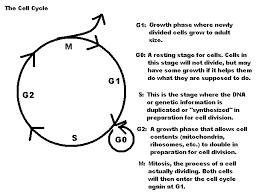 cell cycle worksheet worksheets releaseboard free printable