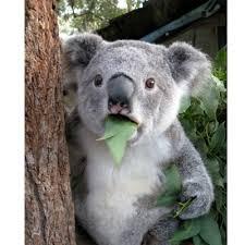 Koala Meme - surprised koala meme generator