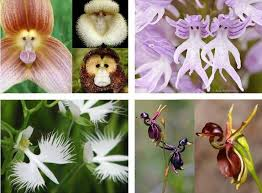 Monkey Orchids The 25 Best Flying Duck Orchid Ideas On Pinterest Unusual