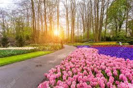 blooming flowers beautiful blooming flowers at sunset in keukenhof park in