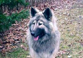 belgian shepherd rescue victoria majestic view kennels hypoallergenic dogs hypoallergenic dogs