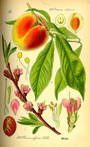 Flowers Of The Month List - peach wikipedia