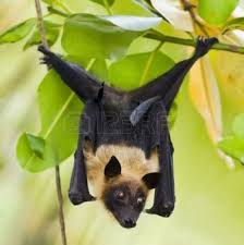 mammiferi volanti pipistrello indiana flying fox pteropus giganteus appeso nella