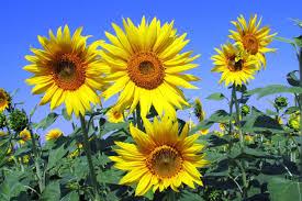 sunflowers track the sun