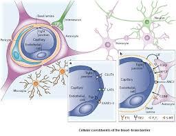 Blood Brain Barrier Anatomy The Components Of The Blood Brain Barrier Medicine Secrets