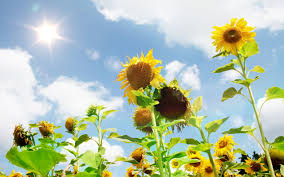 sunflower wallpapers beautiful nature sunflower wallpapers new hd wallpapers