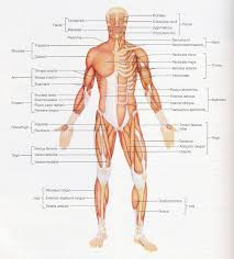shoulder anatomy ppt images learn human anatomy image