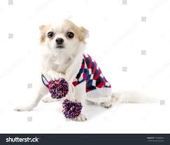 knitting pattern for chihuahua jumper image collections