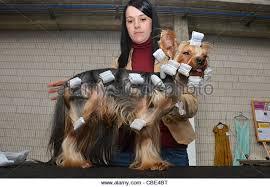 afghan hound national dog show spanish national dog show in stock photos u0026 spanish national dog