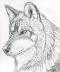how to draw a wolf head mexican wolf step by step forest