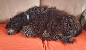 afghan hound rescue az pair color black u0026 cream contact affierescue aol com