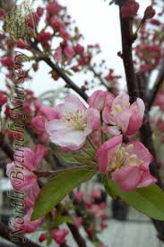 Profusion Flowering Crabapple - north branch nursery resource center crabapple bloom time guide