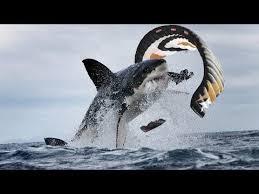 Great White Shark Attack Cape Cod - great white shark attacks kiteboarder youtube kiteboarding