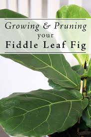 growing and pruning your fiddle leaf fig fiddle leaf fig fiddle