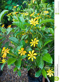 gardenia yellow flowers 28 images renos gallery yellow