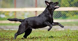 afghan hound and labrador retriever the 10 dog breeds with the best sense of smell dogtime