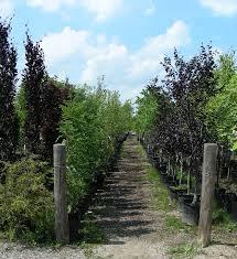 ornamental trees cambridge garden centre