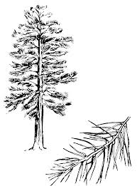 pictures of pine trees free download clip art free clip art