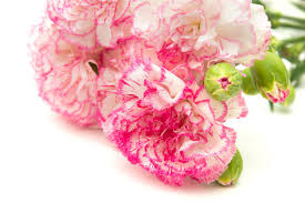 Flower Colour Symbolism - carnation flower meaning flower meaning
