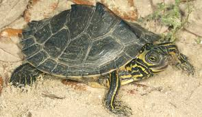 map turtle barbour s map turtle