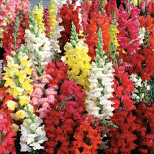 snapdragon flowers snapdragon seed farmer seeds