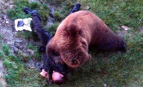 Bears Montana Hunting And Fishing - montana fish wildlife parks to hunters bear spray über alles