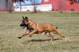 belgian shepherd kentucky working dogs u2014 kentucky canine training center