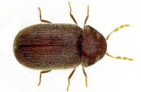 insecte de cuisine comment se débarrasser des scarabées de farine dans la cuisine