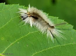 saddleback moth caterpillar my beautiful world