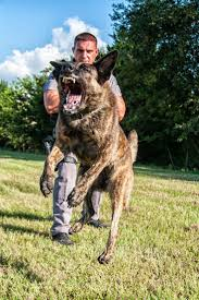 belgian malinois police 191 best rare working dogs images on pinterest working dogs dog