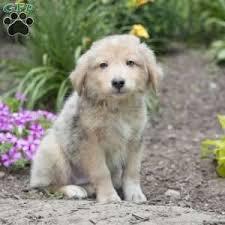australian shepherd or golden retriever miniature australian shepherd puppies for sale greenfield puppies
