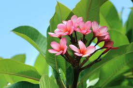 plumeria flower plumeria frangipani san diego zoo animals plants
