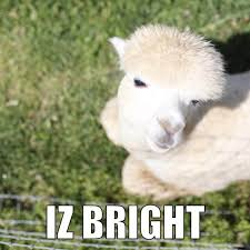 Alpaca Memes - these alpaca memes will make you feel warm and fuzzy