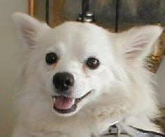 american eskimo dog rescue michigan mesa az pomeranian mix meet corky a dog for adoption http
