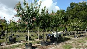 available b b trees and container trees from bent oak tree farm