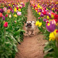 as happy as a pug in a field of tulips pics