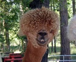 Alpaca Meme - create meme hairy llama hairy llama alpaca alpaca