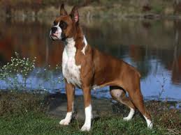 boxer dog funny funny boxer dogs pets cute and docile